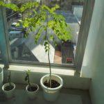 モリンガをベランダ栽培